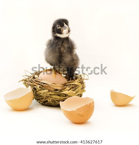 Little chicken in nest with egg and eggs shell on white background - stock photo