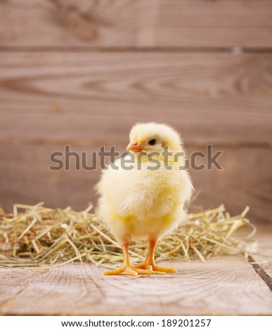 little chicken on a wooden background - stock photo