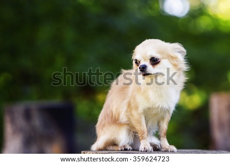 Little chihuahua afraid looking afraid and shy - stock photo