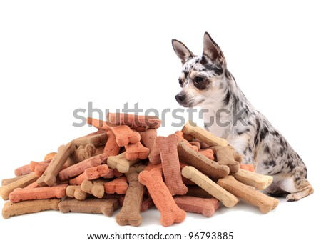 Little chihuahua dog stares at and sits behind large mound of dog treats on a white background - stock photo