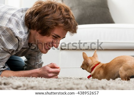 Little chihuahua having fun and games pulling on the end of a cord held by a smiling happy young man in a tug of war, low angle over a thick rug - stock photo