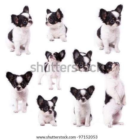 Little chihuahua in many actions - stock photo