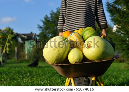 little child with a wheelbarrow full with pumpkin crop - helping in a garden - stock photo