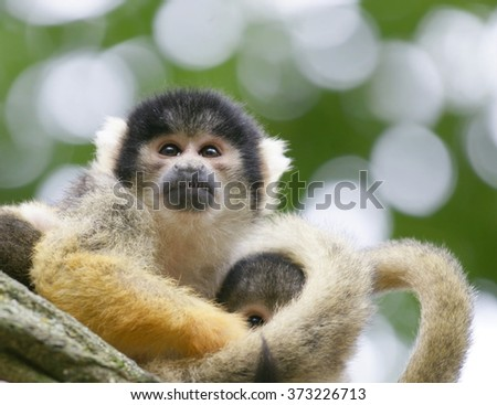 little chimpanzee ; year of the monkey 2016  - stock photo