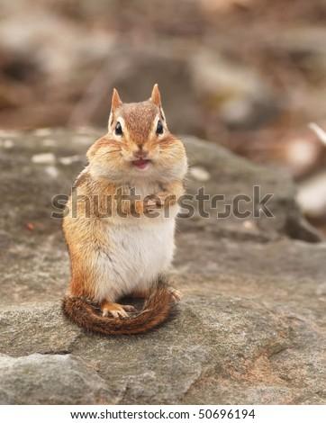 little chipmunk says hello - stock photo
