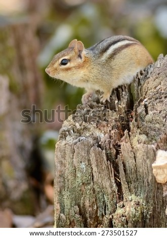 Little chipmunk sitting on a tree stump - stock photo