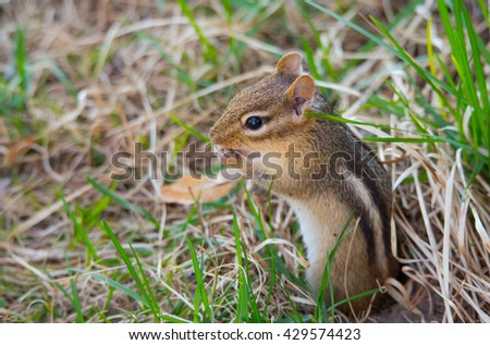 Little chipmunk, (Tamias), smallest member of the squirrel family, pops out and sits atop his burrow in the ground.   - stock photo