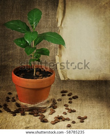 Little coffee tree in a pot on canvas with scattered coffee beans and old paper - stock photo