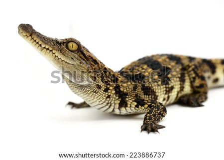 Little crocodile - stock photo
