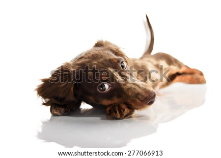 little cute brown spotted dachshund puppy with big eyes - stock photo