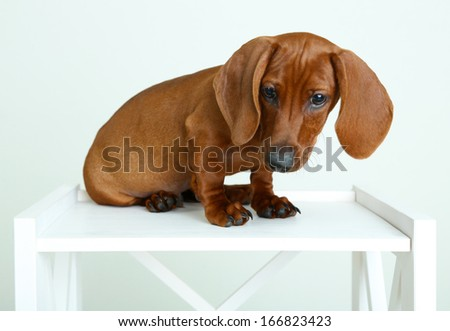 Little cute dachshund puppy - stock photo