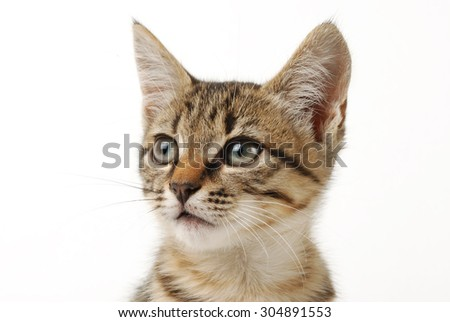 little cute grey kitten on a white background - stock photo