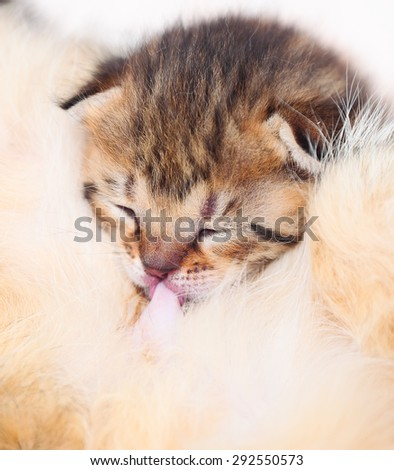 Little cute kitten suck the milk from his moter, close up - stock photo