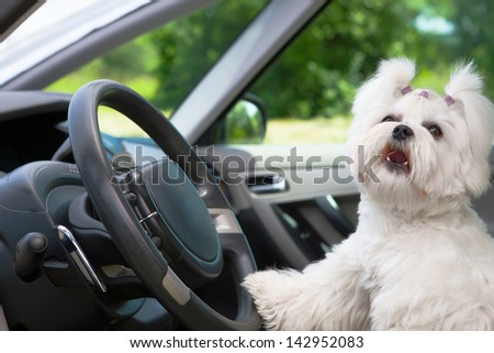 Little cute maltese dog in the car with paw on the steering wheel barking - stock photo