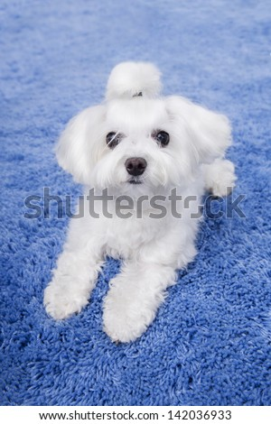 Little cute white Maltese puppy lying on a blue rug and looking at the camera - stock photo