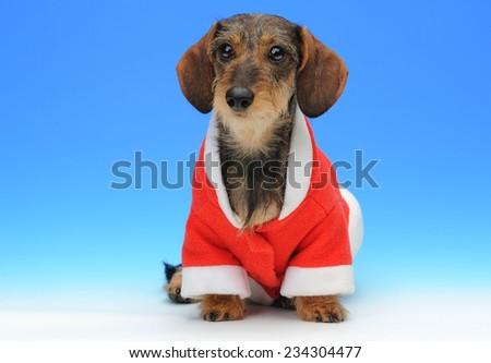 Little dachshund in the Santa's coat - stock photo