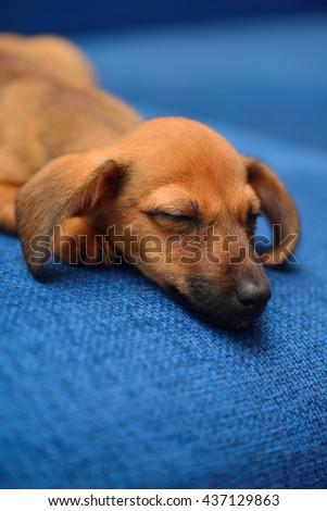 Little dachshund sleep on a blue background - stock photo