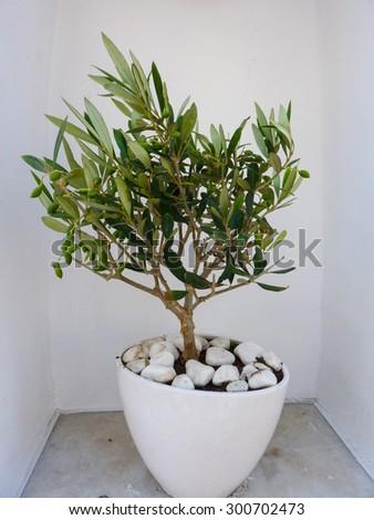 Little decorative olive tree in Naxos island, Cyclades, Greece - stock photo