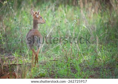 Little dik-dik antelope - stock photo