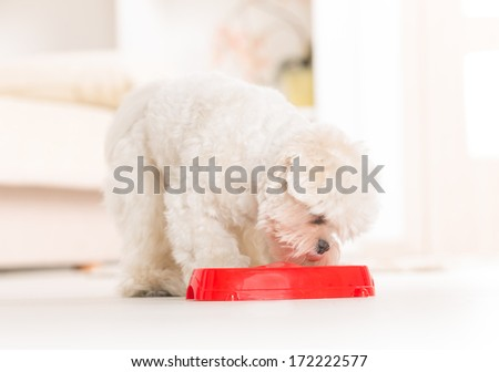 Little dog maltese eating his food from a bowl in home - stock photo