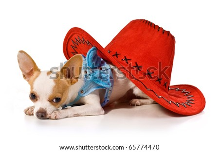 little dog under a red hat on a white background.decorative dog.chihuahua - stock photo