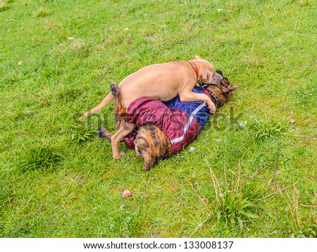 Little dogs play together in spring over the grass - stock photo