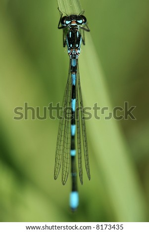 Little dragonfly with blue and black stripe - stock photo
