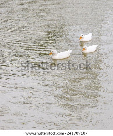 Little duck in the lake of rural farm. - stock photo
