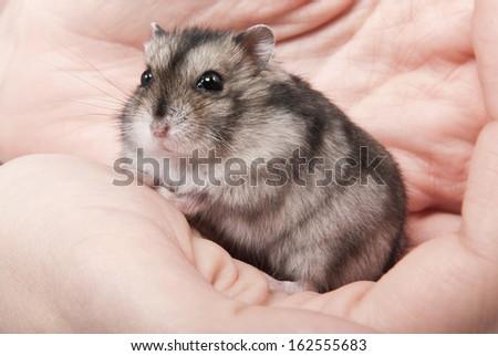 Little dwarf hamster on women hands - stock photo