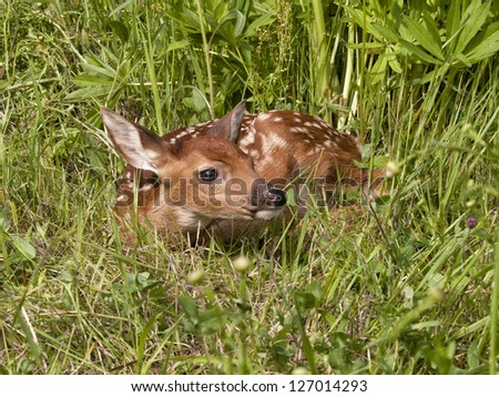 Little Fawn Curled up in the Grass - stock photo