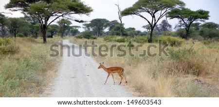 little female antelope is crossing the road in a national park reserve in Africa  - stock photo