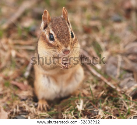 little female chipmunk sits outside of her burrow - stock photo