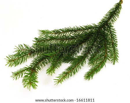 Little fir branch isolated on white - stock photo