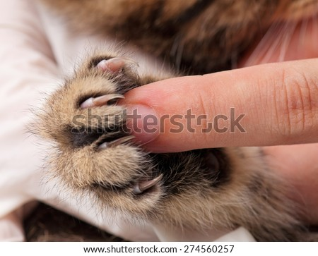 Little fluffy kitten's paw and woman finger for contrast close-up - stock photo