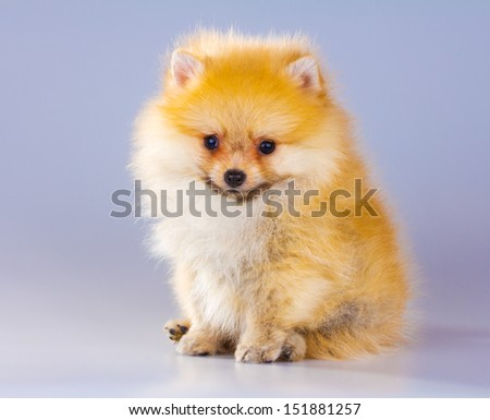 Little fluffy Pomeranian puppy on a gray background - stock photo