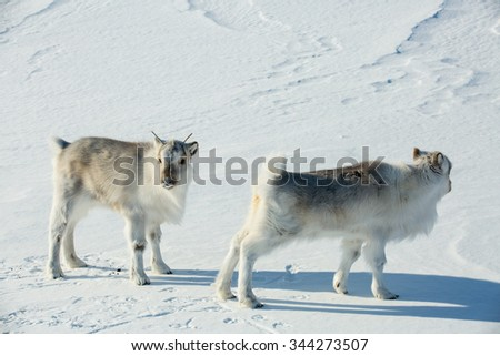 Little fluffy reindeer grazing on the snow. Beautiful white snowy landscape. Mountains and blue sky on the background. Sunny weather.  Longyearbyen, Svalbard. - stock photo