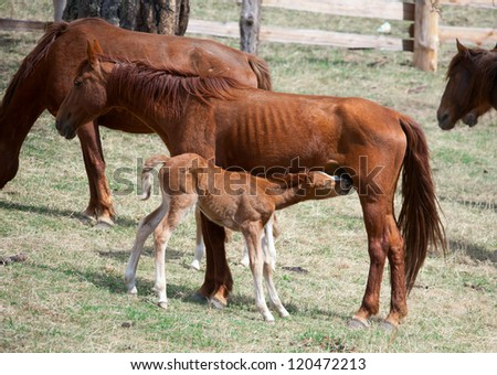 Little foal sucks milk from his mother - stock photo
