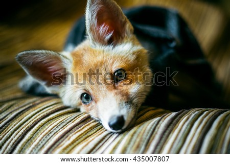 little fox wrapped in a scarf. 3 months the little fox. Little fox domestication - stock photo