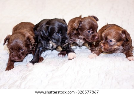Little funny black and brown Chinese puppy dogs sitting on the bed - stock photo