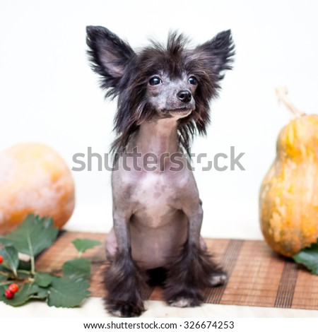 Little funny Chinese Crested dog sitting next to vegetables - stock photo
