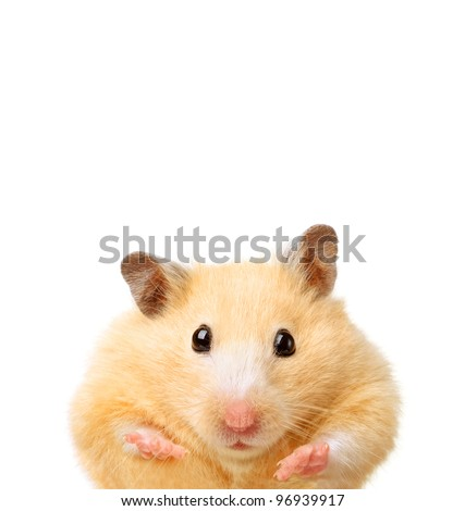 Little funny hamster isolated on white - stock photo