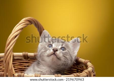 Little funny kitten in studio on yellow background - stock photo