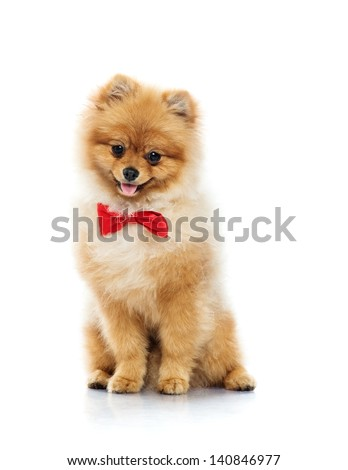 Little funny spitz with bow tie - stock photo
