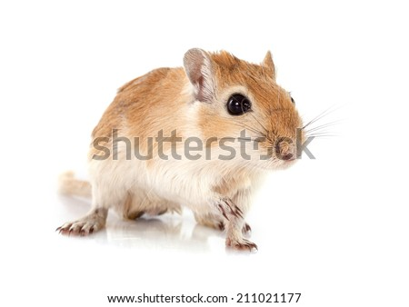 little gerbil in front of white background - stock photo