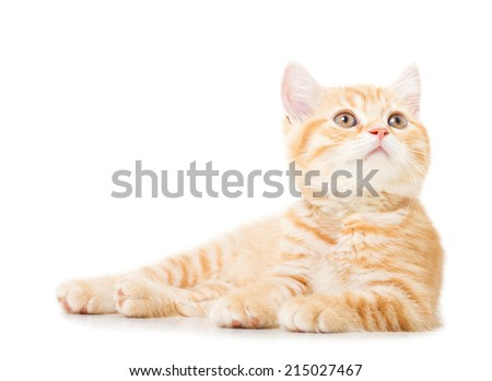 little Ginger british shorthair cats over white background - stock photo