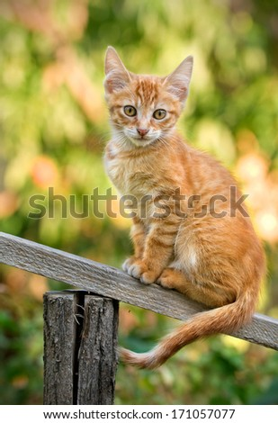 little ginger kitten sitting on a wooden slat - stock photo