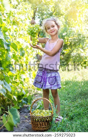 Little girl picking green grape in an orchard - stock photo