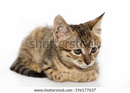 Little gray kitten portrait up isolated on white background - stock photo