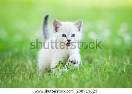 Little grey kitten with blue eyes walking outdoors - stock photo