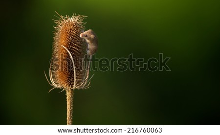 little harvest mouse - stock photo